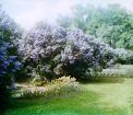 [1905–1915]. Lilacs in the Gatchinskii park.